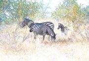 Zebras Sketch